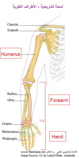 upper limb anatomy - hand anatomy