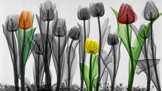 فيزيائي طبي هولندي قام بتصوير الورود بالأشعة السينية ومن ثم تلوينها