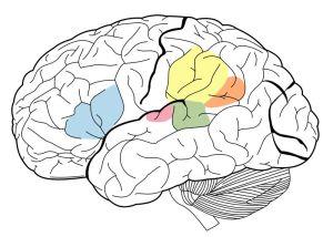 800px-brain_surface_gyri-svg